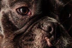 Gezicht, ogen en neus van een leuke Franse buldog Royalty-vrije Stock Foto's