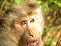Gezicht van Bonnet macaque, Macaca-radiataaap stock afbeelding