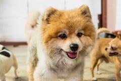 Gezicht van bruine Pomeranian Stock Fotografie