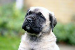 Gezicht van de Engelse Mastiff stock afbeeldingen