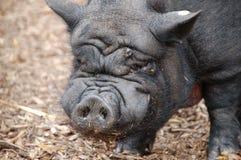Gezicht van een Aziatisch zwart varken stock afbeeldingen