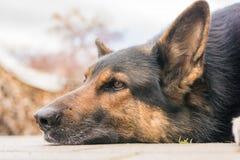 Gezicht van een bruine hond die een onderbreking nemen royalty-vrije stock foto's