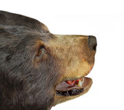 Gezicht van een geïsoleerde beer Stock Afbeeldingen