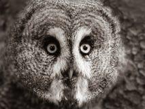 Gezicht van een grote grijze uil stock foto