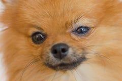 Gezicht van een kleine hond met nat oog wegens allergie of besmetting royalty-vrije stock afbeelding