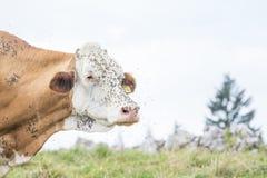 Gezicht van een koe door vliegen wordt gehinderd die stock afbeelding