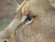 Gezicht van een leeuw Royalty-vrije Stock Afbeeldingen