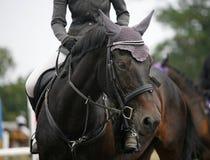Gezicht van een mooi rasecht renpaard op het springen competitio Stock Afbeelding