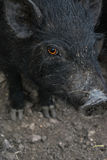 Gezicht van een varken Royalty-vrije Stock Afbeelding