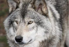 Gezicht van grijze wolf Royalty-vrije Stock Afbeeldingen