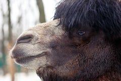 Gezicht van kameel op de winterpark Royalty-vrije Stock Afbeelding