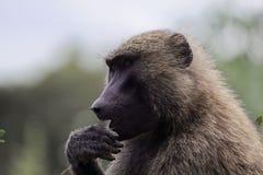 Gezicht van Olive Baboon Papio-anubis royalty-vrije stock fotografie