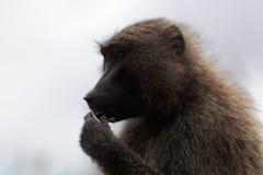 Gezicht van Olive Baboon Papio-anubis stock fotografie