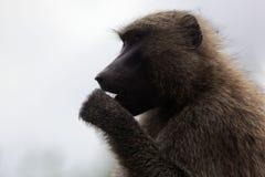 Gezicht van Olive Baboon Papio-anubis stock afbeelding