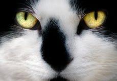 Gezicht van Witte en Zwarte Kat Stock Fotografie