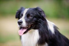 Gezicht van zwarte border collie-hond Royalty-vrije Stock Fotografie