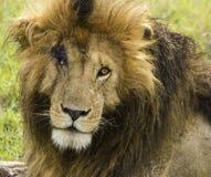 Gezicht vol littekens Marsh Lion Africa Stock Afbeeldingen