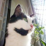 Gezichts zwarte witte kat Stock Foto