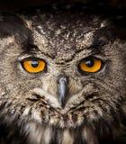 Gezichtsportret van Eagle Owl, Bubo-bubo stock foto's
