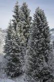 Gezierte Bäume im Winter stockfoto