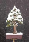 Gezierte Bonsais mit Schnee Lizenzfreies Stockfoto