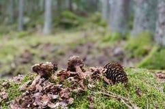 Gezierte Kegel im Wald gegessen durch ein Eichhörnchen stockfotografie