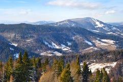Gezierte Wipfel auf dem Hintergrund des Kiefernwaldes Stockfoto