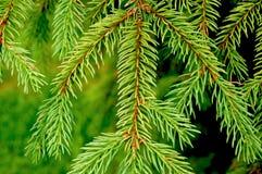 Gezierte Zweige mit grünen Nadeln Stockfotos