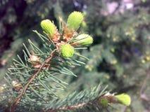 Gezierter Frühling der Niederlassung Blühende Fichte Smereka lizenzfreie stockfotos