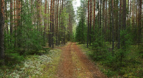 Gezierter Wald im Sommer Lizenzfreie Stockfotos