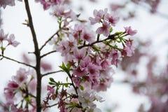 Gezoem bij de bloesem van de volledige bloeikers Stock Afbeeldingen