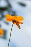 Gezoem bij Kosmos oranje bloemen Stock Foto's