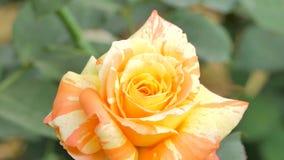 Gezoem in gele roze bloesem stock footage