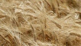 Gezoem op cornfield stock footage