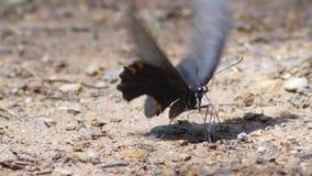 Gezoem in Vlinder die in aard, daglicht eten 2 klemmen stock videobeelden