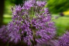 Gezoemeffect purpere bloem Stock Afbeelding