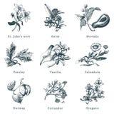 Gezogener Kraut- und Gewürzvektorsatz Botanische Illustrationen von organischem, eco Anlagen Verwendet für Bauernhofaufkleber, Sh lizenzfreie abbildung