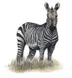 Gezogener Zebra lizenzfreie abbildung
