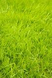 Gezond gras Stock Afbeeldingen