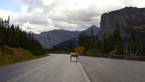 Gezond Mannelijk Ram Bighorn Sheep Crossing Road Wild Dierlijk Montana stock videobeelden