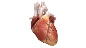 Gezond menselijk hart stock footage