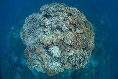 Gezonde Coral Bommie Royalty-vrije Stock Afbeeldingen