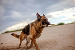 Gezonde en actieve Duitse herderhond royalty-vrije stock foto's