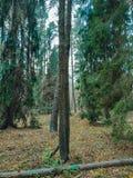 Gezonde groene bomen in een bos van oude sparren en pijnboombomen in wildernis van het ecosysteem gezond milieu van de Oekraïne royalty-vrije stock afbeelding