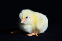 Gezonde Kippen Zwarte Achtergrond Stock Fotografie