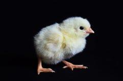 Gezonde Kippen Zwarte Achtergrond Royalty-vrije Stock Afbeeldingen