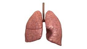 Gezonde menselijke longen stock footage