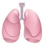 Gezonde menselijke longen Ademhalingssysteem Long, strottehoofd en trachee van gezonde persoon Stock Foto's