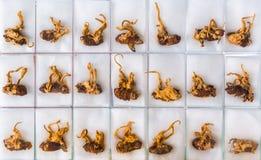 Gezonde sinensisinstallatie van Cordyceps of Ophiocordyceps- royalty-vrije stock foto