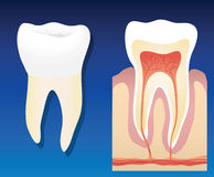 Gezonde tand vector illustratie